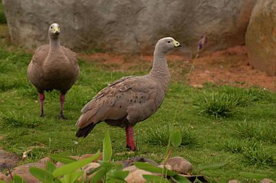 Photograph - Cape Barren Goose 2 by Chris Flees