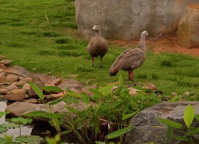 Photograph - Cape Barren Goose Digital Oil by Chris Flees