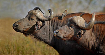 Photograph - Cape Buffalo And Their Housekeeper by Joe Bonita