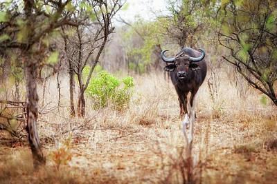 Cape Buffalo In Kruger National Park Art Print by Susan Schmitz
