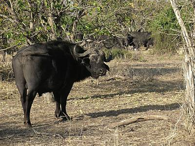 Photograph - Cape Buffalo by Jennifer Wheatley Wolf