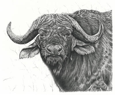 Animals Drawings - Cape Buffalo by Casey