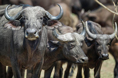 Photograph - Cape Buffalo Trio by Fran Gallogly