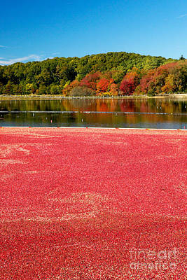 Cape Cod Cranberry Bog Art Print by Matt Suess