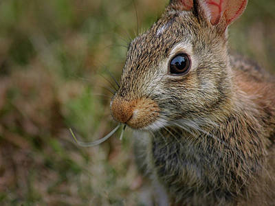 Photograph - Cape Cod Rabbit by Phil Cardamone