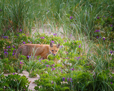 Cape Cod Red Fox Kit Print by Bill Wakeley