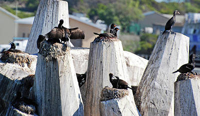 Photograph - Cape Cormorants On Robben Island by Harvey Barrison