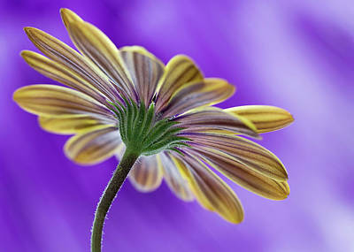 Photograph - Cape Daisy by Shirley Mitchell