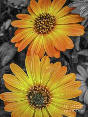 Cape Daisy's - Orange Art Print