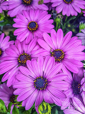 Photograph - Cape Daisys - Purple by Tony Baca