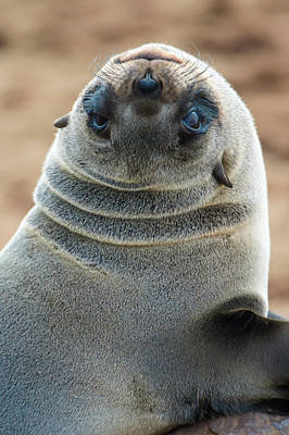Animal Behavior Photograph - Cape Fur Seal Arctocephalus Pusillus by Panoramic Images