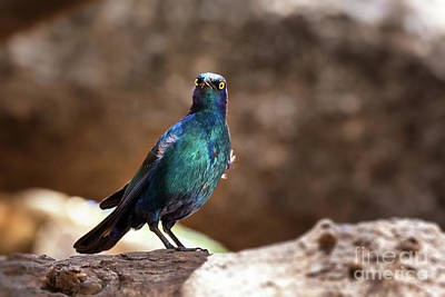 Iridescent Photograph - Cape Glossy Starling by Jane Rix