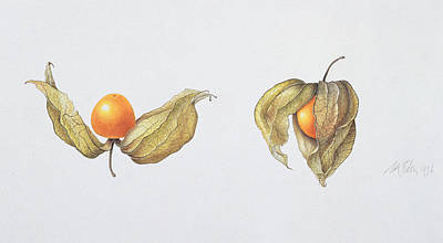 Ripe Drawing - Cape Gooseberries by Margaret Ann Eden