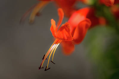 Photograph - Cape Honeysuckle Macro by Debra Martz