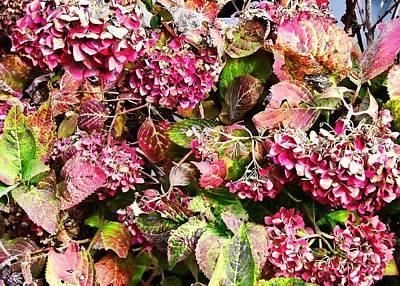 Photograph - Hydrangea Bush by JAMART Photography