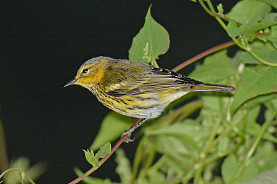 Cape May Warbler Original