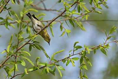 Photograph - Cape May Warbler by David Watkins