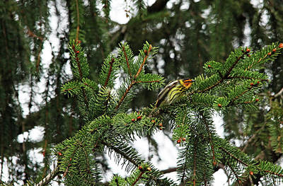 Photograph - Cape May Warbler by Debbie Oppermann