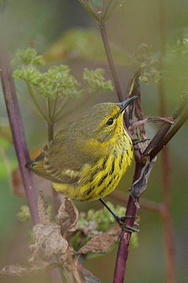Cape May Warbler In Wees Original
