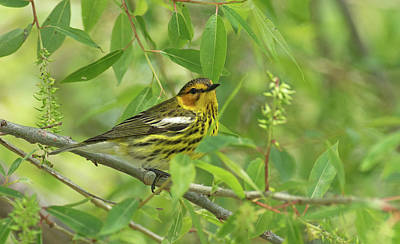Photograph - Cape May Warbler by Jim Zablotny