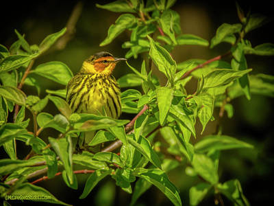 Photograph - Cape May Warbler by LeeAnn McLaneGoetz McLaneGoetzStudioLLCcom