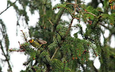 Photograph - Cape May Wood Warbler by Debbie Oppermann