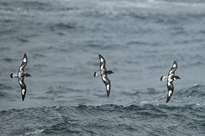 Photograph - Cape Petrel Trio by Bruce J Robinson