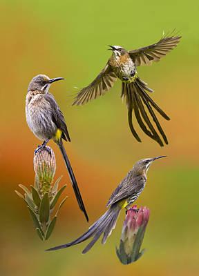 Cape Sugarbird Collage Original by Basie Van Zyl