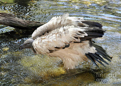 Photograph - Cape Vulture by Lydia Holly