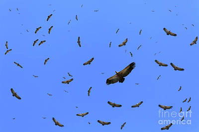 1920s Flapper Girl - Cape vultures circling by Etienne Outram