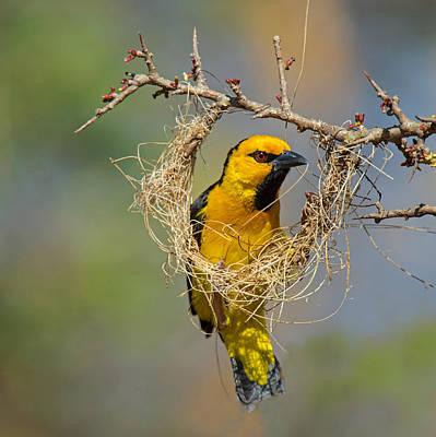 Bird Nest Photograph - Cape Weaver Bird Builds A Nest by Panoramic Images