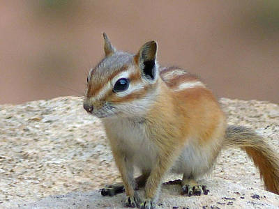 Photograph - Capital Reef Antelope Squirrel 2 by Jeff Brunton