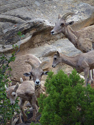 Photograph - Capital Reef Big Horn Sheep 11 by Jeff Brunton