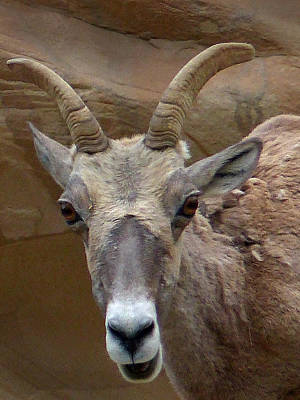 Photograph - Capital Reef Big Horn Sheep 14  by Jeff Brunton