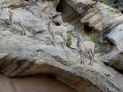 Photograph - Capital Reef Big Horn Sheep 2 by Jeff Brunton