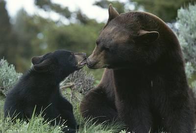 Captive American Black Bear And Cub Art Print