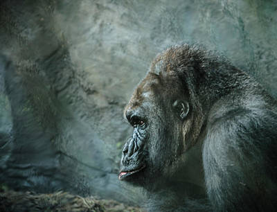 Gorilla Photograph - Captive Cousin by WildePics Photography Inc
