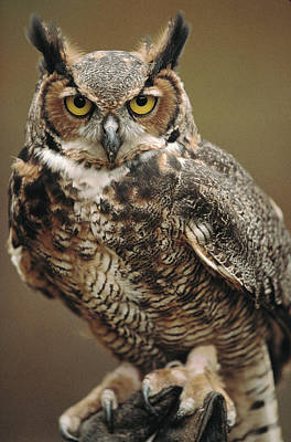 Looking At Camera Photograph - Captive Great Horned Owl, Bubo by Raymond Gehman