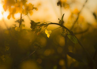 Rapeseed Photograph - Capturing The Evening Sunlight by Chris Fletcher