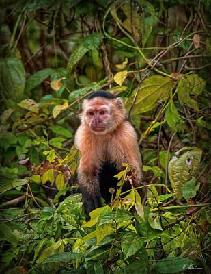 Photograph - Capuchin by Hanny Heim