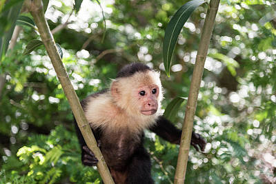 Photograph - Capuchin II by Michael Santos