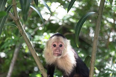 Costarica Photograph - Capuchin by Michael Santos