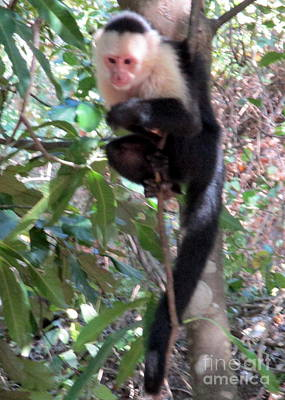 Photograph - Capuchin Monkey 1 by Randall Weidner