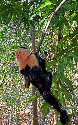 Photograph - Capuchin Monkey 1 by Ron Kandt