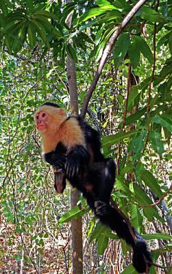 Photograph - Capuchin Monkey 1 by Ron Kandt