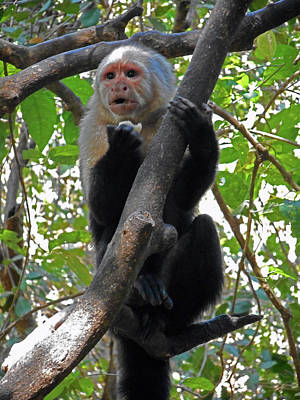 Photograph - Capuchin Monkey 12 by Ron Kandt