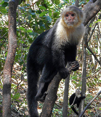 Photograph - Capuchin Monkey 15 by Ron Kandt