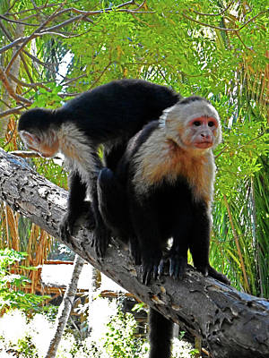 Photograph - Capuchin Monkey 17 by Ron Kandt