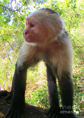 Photograph - Capuchin Monkey 2 by Randall Weidner