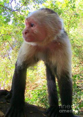 Photograph - Capuchin Monkey 2 by Randall Weidner